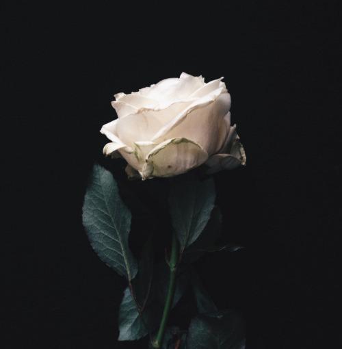 White Pailin Rose